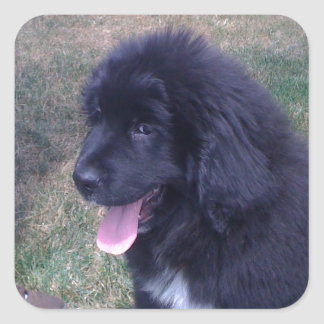 Lovely Newfie puppy (Newfoundland dog breed) Square Sticker