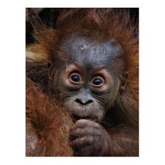 lovely orang baby postcard