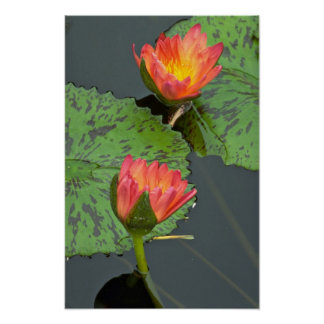 Lovely pair of red and yellow water lilies poster