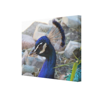Lovely Peacock Beauty American Southwest Canvas Print