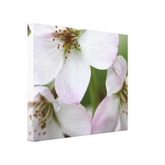 Lovely Pink Cherry Blossoms Canvas Print