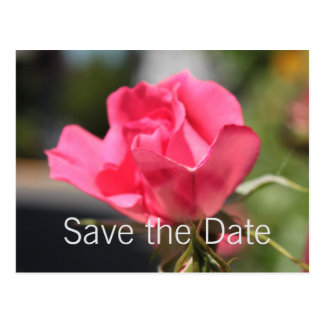 lovely pink rose flower save the date postcard. postcard