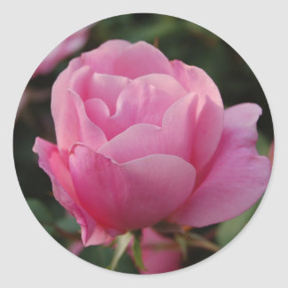 Lovely Pink Rose Sticker
