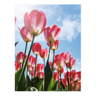 Lovely Pink Tulips and Cloudy Sky Postcard