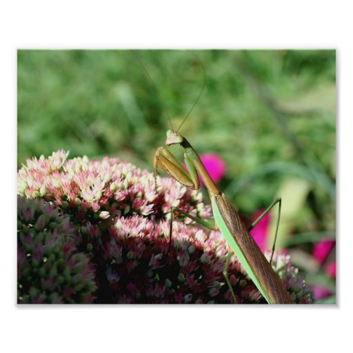 Lovely Praying Mantis Insect 10x8 Nature Photograph