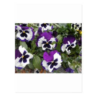 Lovely Purple and White Pansy Art Postcard