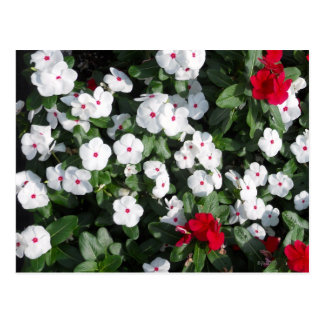 Lovely Red and White Vinca Plants Baltimore Harbor Postcard