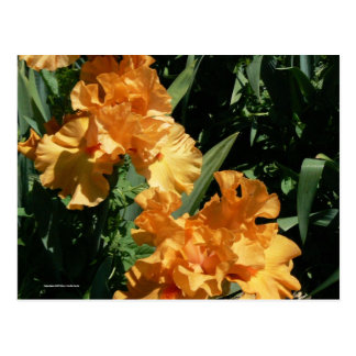 Lovely Senorita Iris Postcard