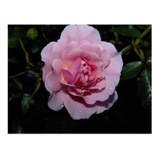 Lovely Shrub Rose 'Golden Wings' Postcard