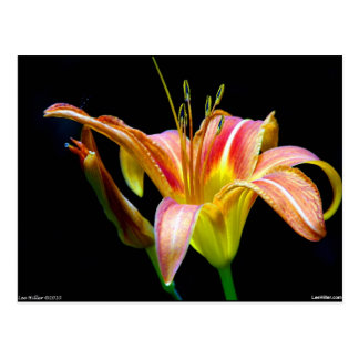 Lovely Tawny Daylily II Apparel and Gifts Postcard