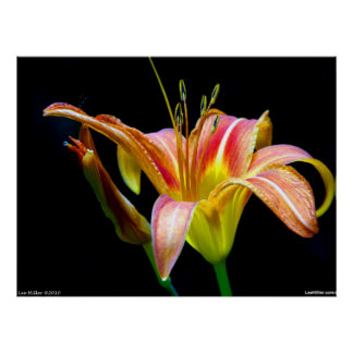 Lovely Tawny Daylily II Poster