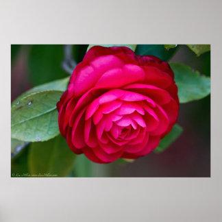 Lovely Vibrant Red Camellia Poster