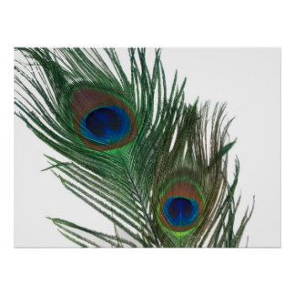 Lovely White Peacock Feather Still Life Poster