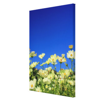 Lovely Yellow Cosmos Clear Blue Sky Flower Field Canvas Print