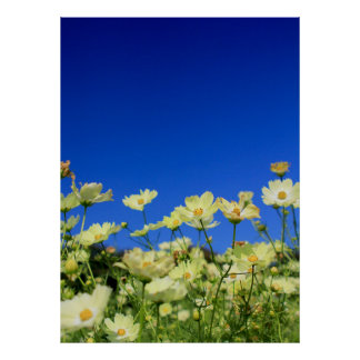 Lovely Yellow Cosmos Clear Blue Sky Flower Field Poster