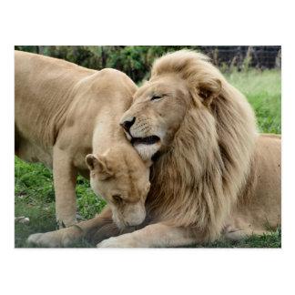 Lover Lions Postcard
