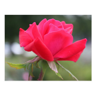 Lover's Rose Postcard