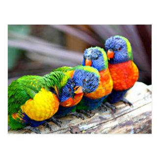 Lovey-Dovey Parrots Postcard