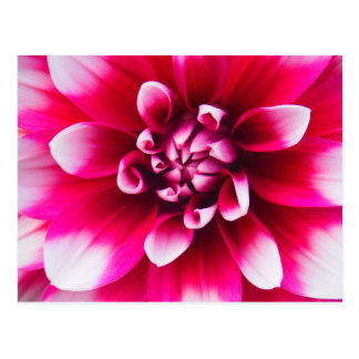 Lovey Pink and White Flower Postcard