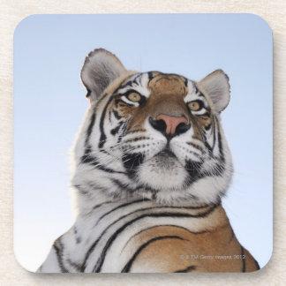 Low angle view of a Tiger (Panthera tigris) Drink Coaster