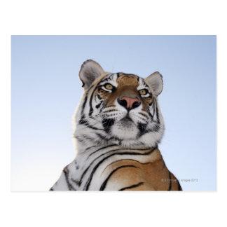 Low angle view of a Tiger (Panthera tigris) Postcard