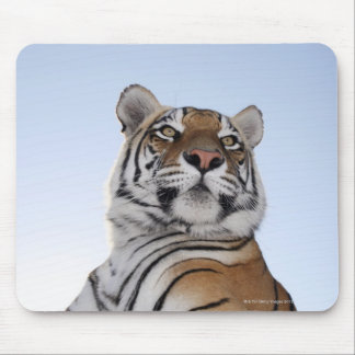 Low angle view of a Tiger (Panthera tigris) with Mouse Pad