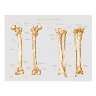 Lower Limb Sepia Postcard