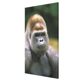 Lowland gorilla. Gorilla Gorilla. Canvas Print