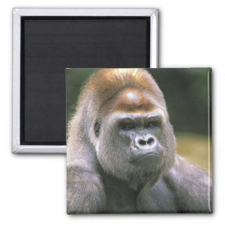 Lowland gorilla. Gorilla Gorilla. Magnet