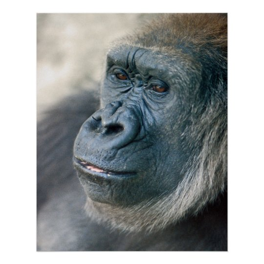 Lowland Gorilla Nose Poster