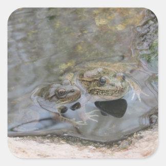 Lowland Leopard Frogs Square Sticker