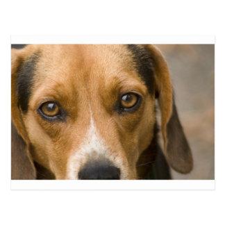 Loyal Beagle Hound Hunting Dog Postcard