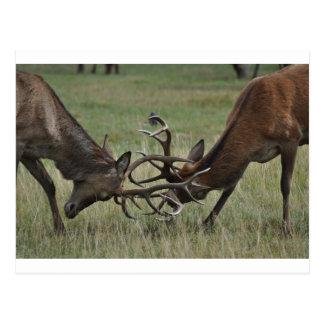 Lucha de los ciervos postales