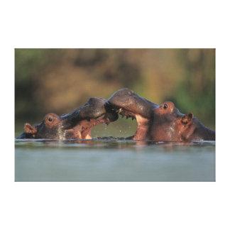 Lucha de los hipopótamos (Hippopotamus Amphibius) Impresiones En Lona