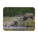 Lucha de toros de los alces, Yellowstone NP, Wyomi Imanes Rectangulares
