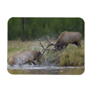 Lucha de toros de los alces Yellowstone NP Wyomi Imanes Rectangulares