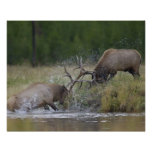 Lucha de toros de los alces, Yellowstone NP, Wyomi Posters