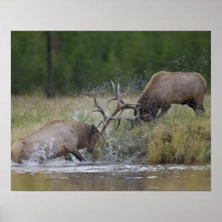 Lucha de toros de los alces, Yellowstone NP, Wyomi Póster