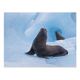 Lucha estelar juguetona de los leones marinos en tarjeta postal