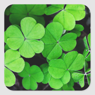 Lucky Clovers Square Sticker