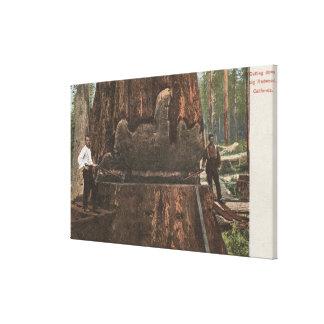 Lumberjacks Cutting Down a Redwood Tree Canvas Prints