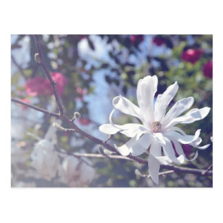 Luminous Star Magnolia Bloom Postcard