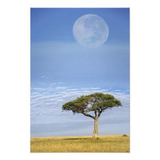 Luna Llena sobre los árboles del acacia, Masai Mar Fotografía