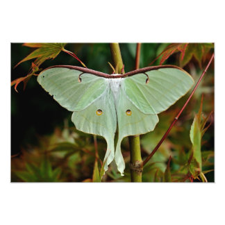 Luna Moth 19x16 large Print
