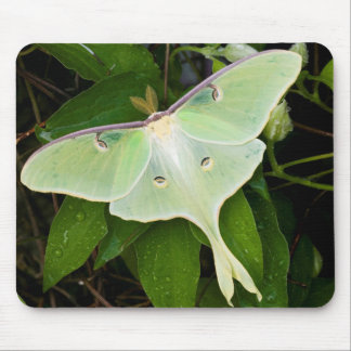 Luna Moth on Carnaby Clematis Mouse Pad