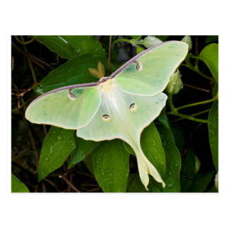 Luna Moth on Carnaby Clematis Postcard