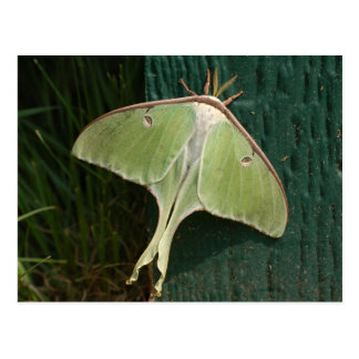 Luna Moth Postcard.