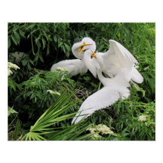 Lunchtime for Egrets (Young Egrets and Mom) Posters