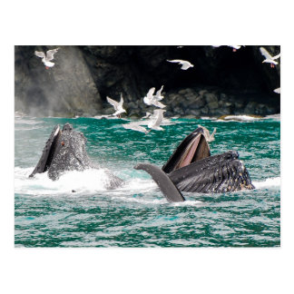Lunging Humpback whales Postcards