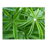 Lupin Leaves Beautiful Green Nature Postcard